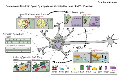 graphical abstract NPC1 SOCE neuron